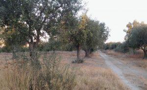 oliivipuita2